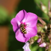 The hungry bee