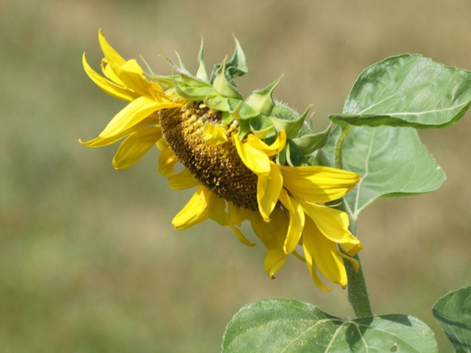 The shy sunflower