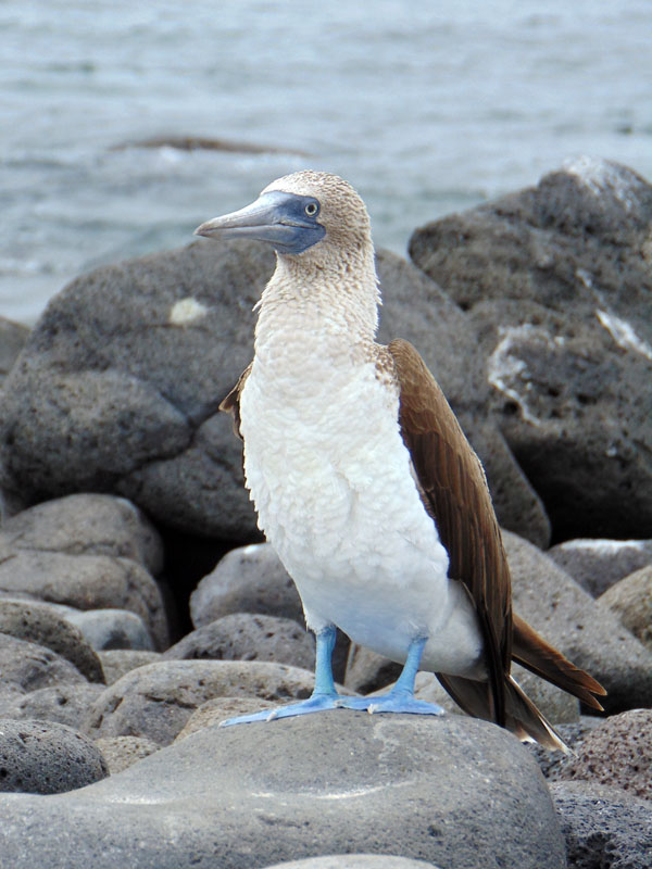 A blue-footed boobie
